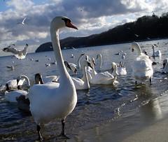 Strike a pose :) (anka.anka28) Tags: winter sea water swan gull poland polska explore swans zima woda gdynia morze łabądź łabędzie pomorze mywinners