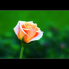 Thank you... (JannaPham) Tags: orange flower macro green nature dedication rose thanks canon garden eos friend flickr friendship searchthebest bokeh project365 explorefrontpage happy 40d wednesday jannapham