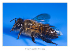 6.1 Bee ... alive from death ? ...