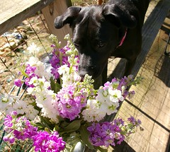zoey sniffing flowers (Samantha Forsberg) Tags: zoey stocks