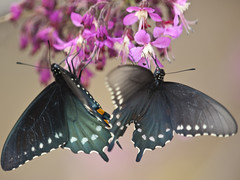 Pipevine Swallowtail butterflies (Bill Oriani) Tags: bird austin bill texas bend butterflies observatory 2009 hornsby swallowtail pipevine oriani 50200mmf2835 olympuse3 billoriani