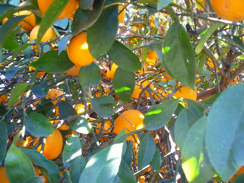 inside the meyer lemon tree
