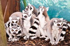 Look! People! (Etrusia UK) Tags: uk animals zoo nikon zoom unitedkingdom sigma places belfast telephoto northernireland ni lemurs pictureperfect ulster d300 ringtailedlemurs coantrim belfastzoo sigmalens vrlens nikond300 150500mm sigma150500mmos 150500mmlens