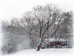 Keyaki - snow - smudge