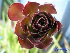 Herreña (Gomereta) Tags: planta flor herreña bejeque gomereta