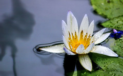 water lilly playing in the pond (alan shapiro photography) Tags: flower green yellow floating adrift ripples waterlilly goldstaraward awesomeblossoms simplythebest~flowers ashapiro515 2010alanshapiro alanshapirophotography wwwalanwshapiroblogspotcom 2010alanshapirophotography