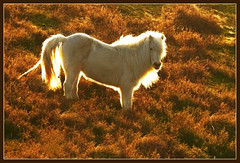 Aureole (hvhe1) Tags: light horse sunlight holland nature animal bravo heather wildlife interestingness1 pony veluwe veluwezoom aureole naturesfinest supershot islandic specanimal specanimals hvhe1 hennievanheerden islandicpony