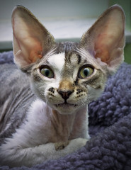 I Vant to Cuddle Vith You... (kotobuki711) Tags: pink baby brown white silly cute male love window yellow bed eyes kitten feline vampire nosferatu teeth tabby kitty ears whiskers cuddle fangs aspen fleece fuzz devonshire devonrex supershot cc400 abigfave p1f1 bestofcats
