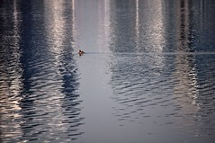 fleeting... (Maggie's World ...) Tags: blue white lake abstract reflection bird water swimming one poem shanghai ripples solitary dogen crossinglines