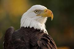 Proud (Megan Lorenz) Tags: bird nature closeup outdoors looking eagle florida watching baldeagle staring avian birdofprey blurredbackground vosplusbellesphotos thewonderfulworldofbirds mwqio