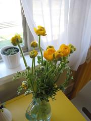 ranunculus (folara) Tags: flower home yellow ranunculus