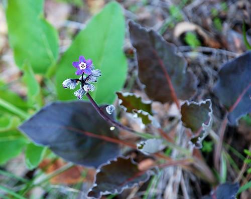 Cynoglossum Grande Cynoglossum Grande Hounds