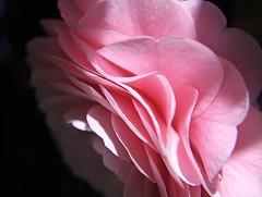 Camelia petals (tanakawho) Tags: pink shadow plant flower macro texture nature sunshine dof blossom bokeh petal layer camelia tanakawho