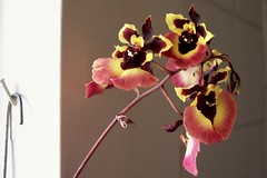 shower orchid