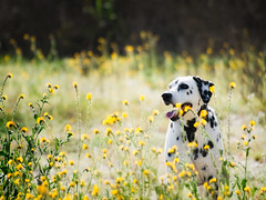Bokeh Boy (Muzzlehatch) Tags: dog cooper getty goofball 2009 dalmatian inttag highqualitydogs