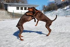 Campary and Destiny (Liisaz88) Tags: girls brown dream destiny land dobermann flox dobermanns campary legrant halettah