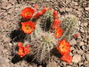 Cactus Blossoms at the Desert Botanical Garden