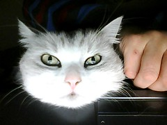 cat sees herself on laptop monitor (owlana) Tags: face cat webcam feline little fren anouk eyeliner chinrest owlcat bungeye chinchillacross