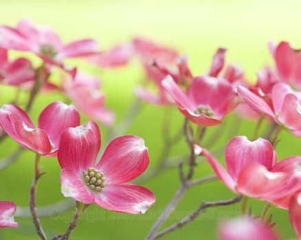 hope.red.dogwood.flowers.flower.photo.7653