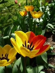 tulipe (peltier patrick) Tags: fleur rose jaune rouge jardin printemps couleur vosplusbellesphotos