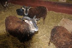 DSC_0835 (incurable_hippie) Tags: cute wool animals community sheep coat sheffield straw horns curly hay breed stable soaysheep heeleycityfarm