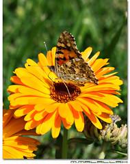 Papillon (M.Malallah) Tags: flower macro green yellow butterfly photography bokeh touch papillon pixel kuwait  kmt          mmalallah kuwaitmacroteam