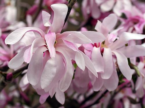 Blüte der Magnolie