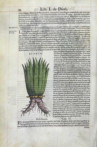 003-Lirio Cardeno o Iris-2-Pedazio Dioscorides Anazarbeo 1555