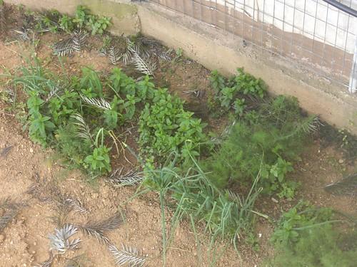 yiayia's herb garden