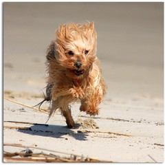Mimi - 44 (yorkiemimi) Tags: mimi dog yorkie yorkshireterrier terrier animal beach