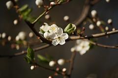 (m15t1q_a) Tags: canon poland polska pak wiosna kwiat paki gdynia drzewo rolina kamiennagra platki roslina supki 55250 pk patki pki mirabelka kwiatostan platek kamiennagora pyek pylek patek 1000d slupki