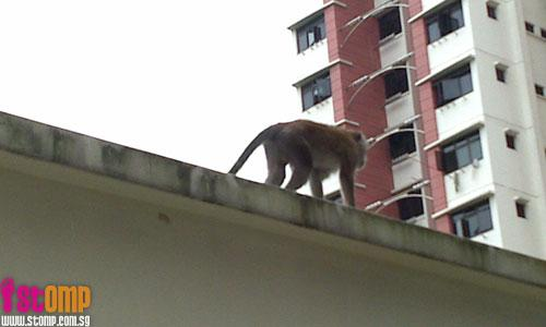 A surprising sight: Monkey forages for food at Toa Payoh