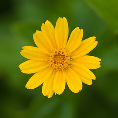 Small Yellow Daisy (Courtesy Craig Jewell, Stock.Xchng)