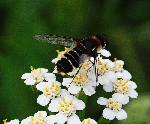 Bee Mimic?