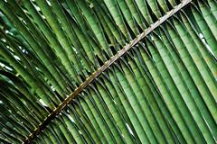 [Green] (davespilbrow) Tags: plant tree green london kew gardens nikon palm d100 ongetty