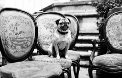 pug on the chair (juliusfrumble) Tags: 35mm chair nikon pug antiques thelittledoglaughed