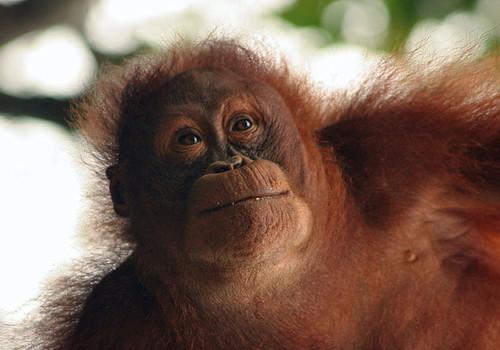 Young Orangutan at Semenggoh