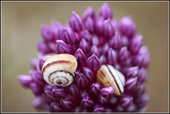 Garlic flower (Avneyon) Tags: flower snail garlic