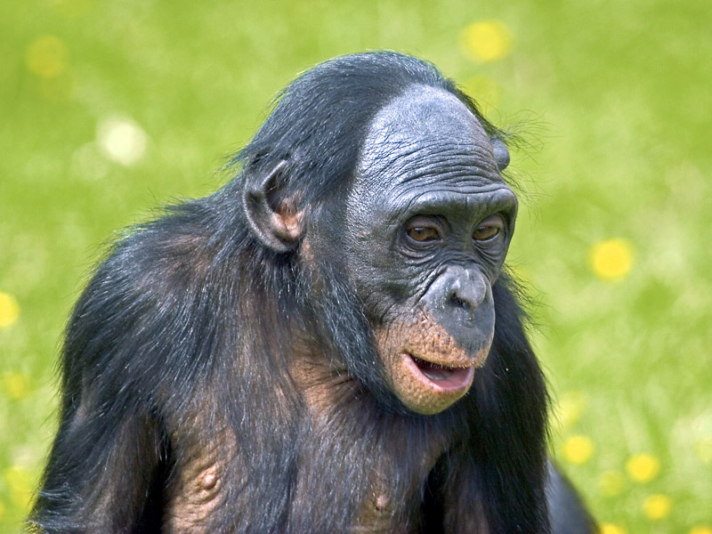 Секс обезьян гибонов