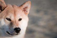 Suki Wolf (kaoni701) Tags: dog pet animal puppy mammal wolf ken fox doggy suki shiba inu