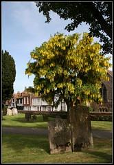 Rye - Baum