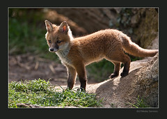 Red Fox in British Countryside (GTMedia) Tags: creative paws moment juvenile vulpes creativemoment
