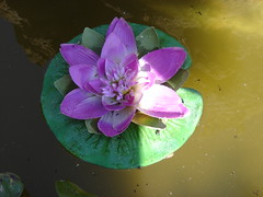 Soy una planta muy hermosa vivo en el agua y en este momento me encuentro entre sol y sombra (andaluza catalana) Tags: verde sol agua flor fuente sombra abono pétalos florlila colordorado