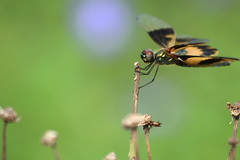 Dragonfly on a  Gorgeous Green Thursday (AgniMax) Tags: green nature dragonfly bokeh kerala thursday gorgeousgreenthursday