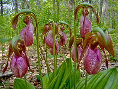 Lady Slippers in a Bunch (SIngraham) Tags: me spring maine wells wildflowers rachelcarsonnwr