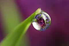Cornflower dewdrop refraction (Lord V) Tags: flower macro water dewdrop poppy refraction vosplusbellesphotos