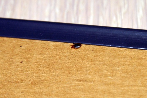 Bed bug in mirror frame