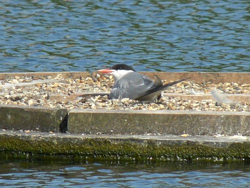 Nesting Common Tern on Surrey Water