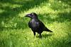In botanical garden...05 (dolphin_dolphin) Tags: bird japan wonder sapporo crow botanicalgarden twop abigfave theunforgettablepictures goldstaraward