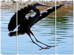Heron Landing (phil_sidenstricker) Tags: portrait macro bird art heron nature landscape framed landing cropped blueheron span textured resized mostexcellent paneled fujifilmfinepixs5700 awardtree  chandlerazusa iosonoungenioiamagenius